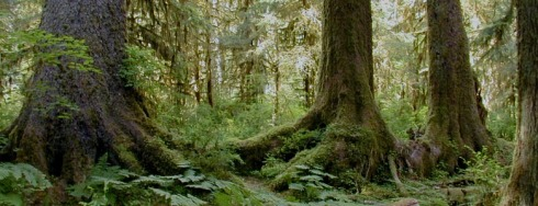 Old growth Sitka Spruce - Hoh Rainforest